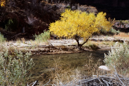 cottonwood  tree: Cottonwood tree on the banks of the Virgin River