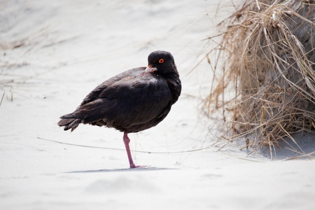 variable: Variable Oystercatcher (Haematopus unicolor)