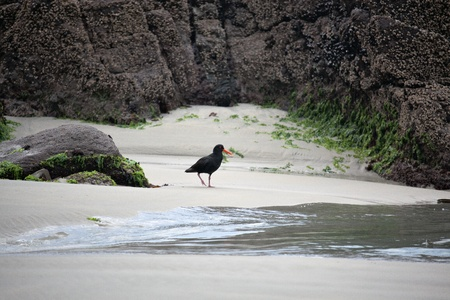 variable: Variable Oystercatcher  Haematopus unicolor  Stock Photo
