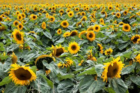 helianthus: Sunflowers (Helianthus annuus)