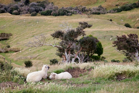 Sheep on the Otago Peninsula photo