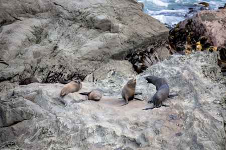 New Zealand fur seal (Arctocephalus forsteri) photo