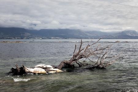 Dead tree in the water at Kiakoura Bay photo