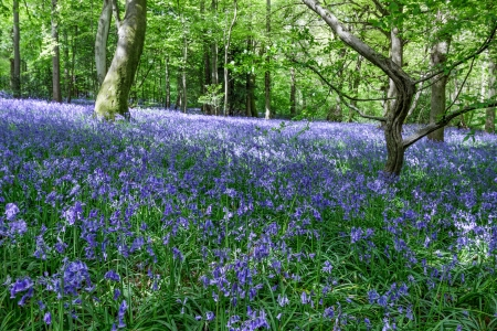 Bluebells in Staffhurst Woods near Oxted Surrey photo