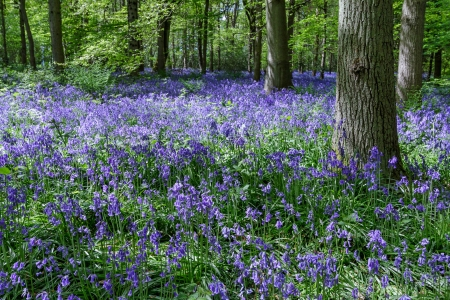 wildflowers: Bluebells in Staffhurst Woods near Oxted Surrey