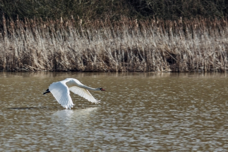 Mute Swan (cygnus olor) taking off photo