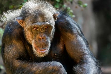 Chimpanz� assis dans un zoo photo