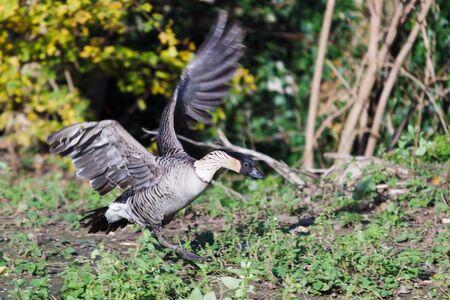 Hawaiian Goose branta sandvicensis photo
