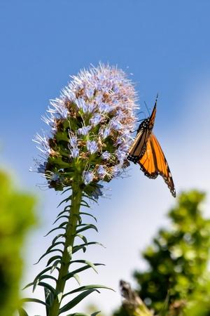 danaus: Monarch butterfly (Danaus plexippus)