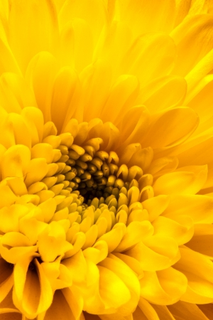 Close-up of a yellow chrysanthemum photo