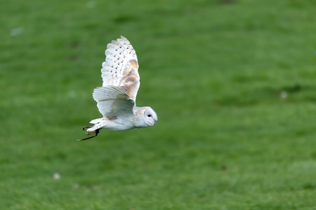 Barn Owl (Tyto alba) photo