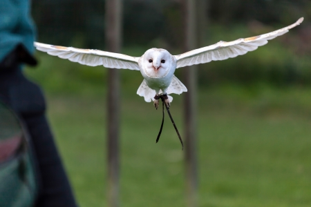 Barn Owl (Tyto alba) Stock Photo - 15839175