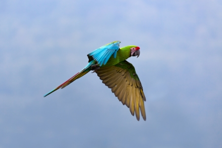 Military Macaw (Ara militaris) photo