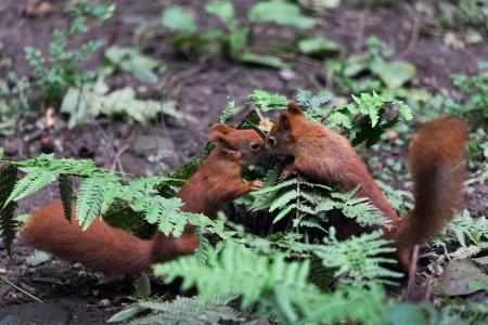 fluffy tuft: Two Eurasian red squirrels (Sciurus vulgaris) playing