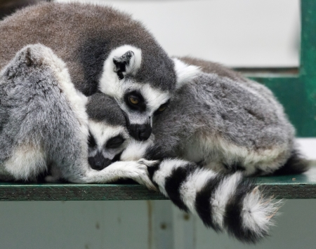 Ring-tailed lemur (Lemur catta) with baby photo