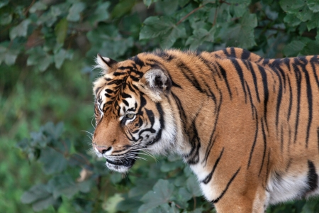 Sumatran tiger (Panthera tigris sumatrae) Stock Photo - 15840208