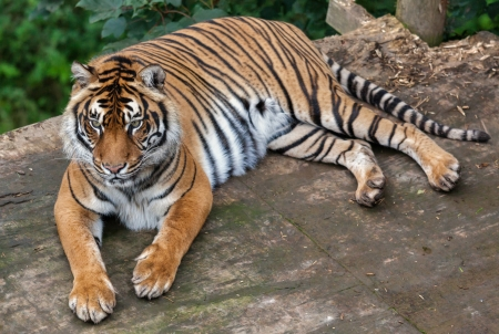 Sumatran tiger (Panthera tigris sumatrae) photo