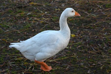 cackle: Goose walking along the riverbank of the Great Ouse in Ely Stock Photo