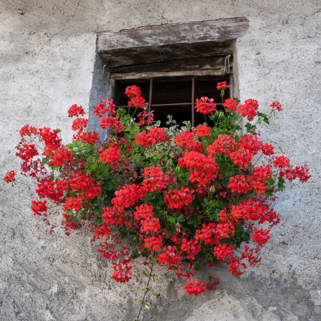 Red Geranium in a wall basket below window of house in Cogne Italy Foto de archivo