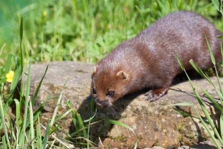 Close-up shot of an European Mink (mustela lutreola)