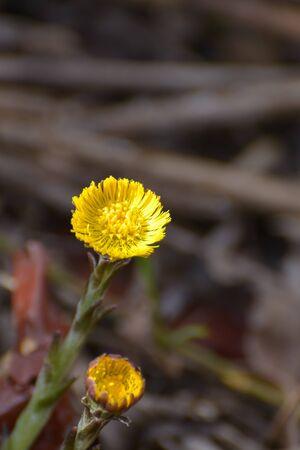 vulgare: Tansy (tanacetum vulgare) Stock Photo