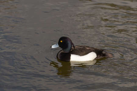 tufted: Tufted Duck (aythya fuligula) Stock Photo