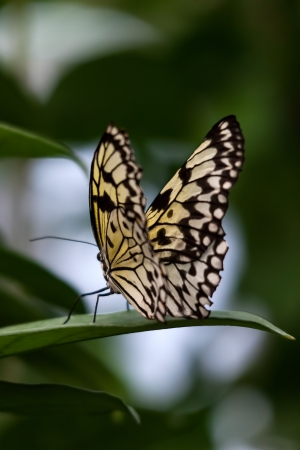 Rice Paper butterfly (Idea leuconoe) photo