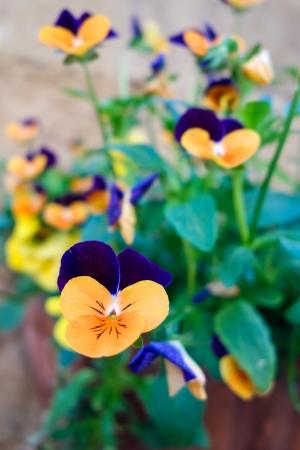 violas: Violas attaced to a wall in Pienza Tuscany