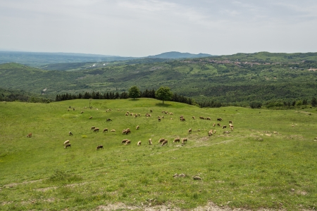 val d      orcia: Flock of sheep in Val d Orcia Stock Photo