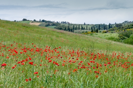 val d orcia: Poppies flowering in Val d Orcia