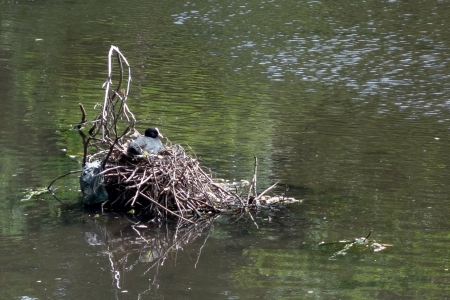 wildfowl: Coot sitting on nest
