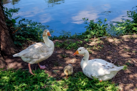 cackle: Domesticated geese living wild in Roath Park Stock Photo