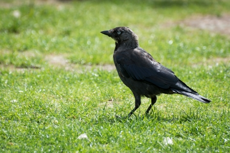 Jackdaw (corvus monedula) Stock Photo - 21527966