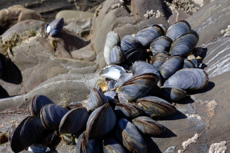 A cluster of Mussels