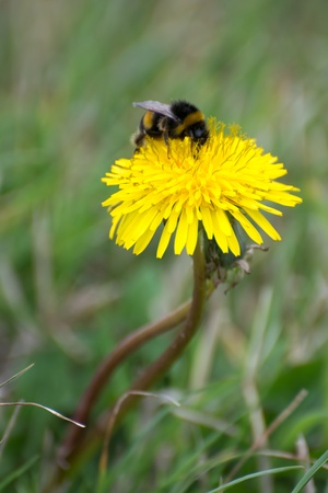 Bee collecting pollen from a Dandelion (taraxacum) photo