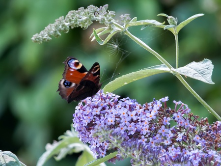 inachis: European Peacock butterfly (Inachis io) feeding on Buddleia blossom Stock Photo