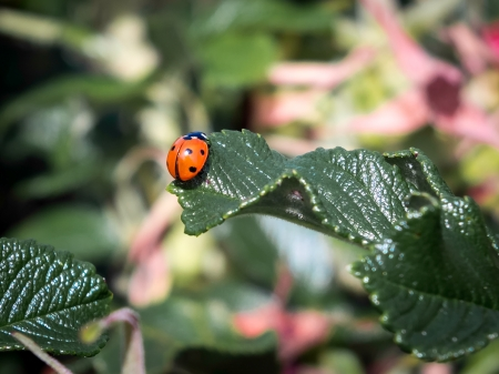 septempunctata: Seven Spot Ladybird (coccinella septempunctata)