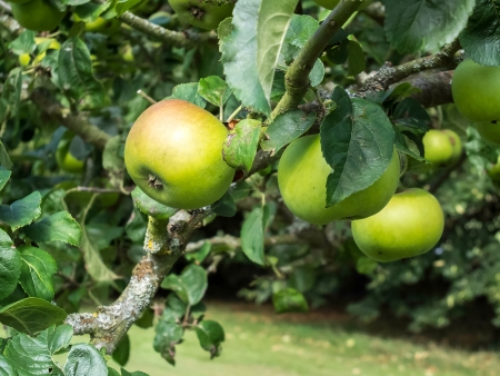 bough: Apples ripening on the bough