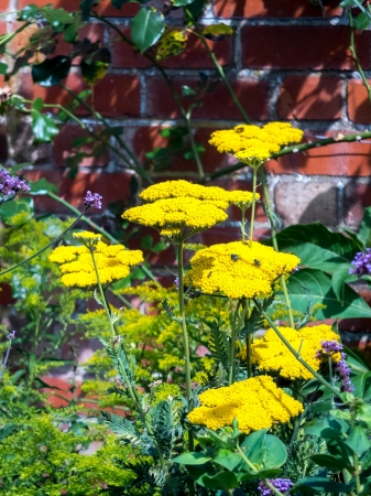 Yarrow Achillea Ageratum yellow flower head photo