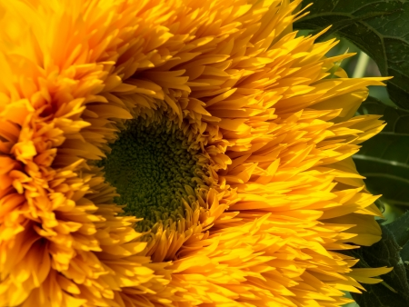 Cultivated Sunflower photo