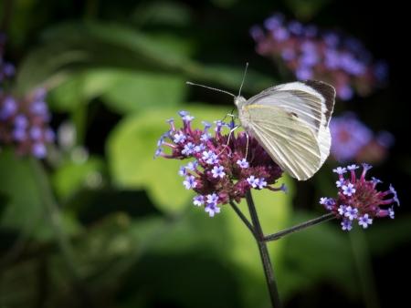 pieris: Small White (Pieris rapae) Butterfly