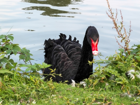 Black Swan (cygnus atratus) photo