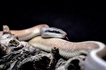 taeniura: Cave Racer (Elaphe taeniura ridleyi)