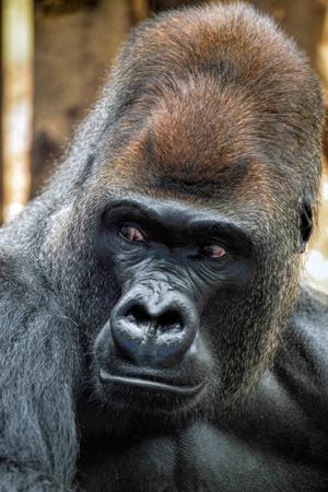 western lowland gorilla: Gorilla di pianura occidentale (Gorilla gorilla gorilla)