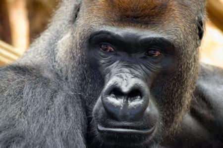 gorila: Gorila occidental (Gorilla gorilla gorilla)