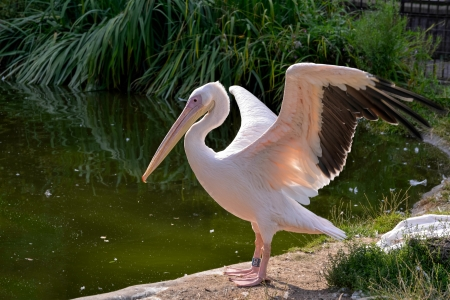 Great White Pelican (Pelecanus onocrotalus) photo