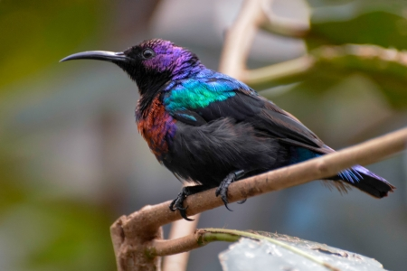 sunbird: Splendid Sunbird (Cinnyris coccinigastrus)