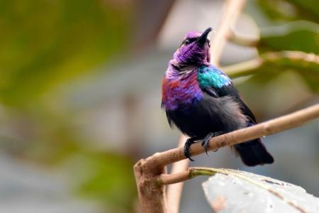 irridescent: Splendid Sunbird (Cinnyris coccinigastrus)