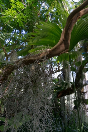 tillandsia: Spanish Moss (Tillandsia usneoides) Stock Photo