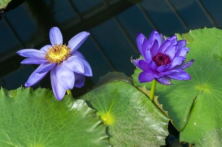 nucifera: Flor de loto (Nelumbo nucifera)